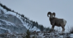 Mountain Sheep, Kannanaskis, 01/2012